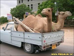 -peugeot-chameaux.jpg