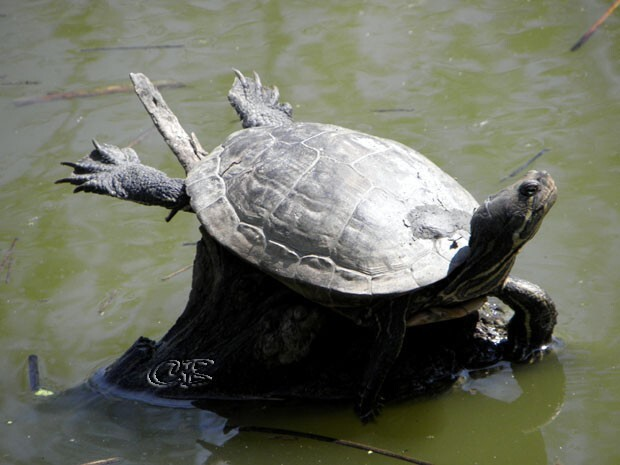Parc Ste Croix héron tortue de Floride