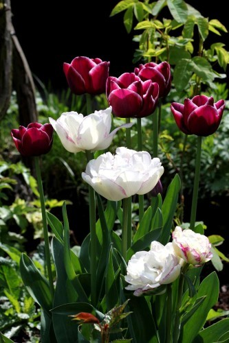 Tulipes Normandie4