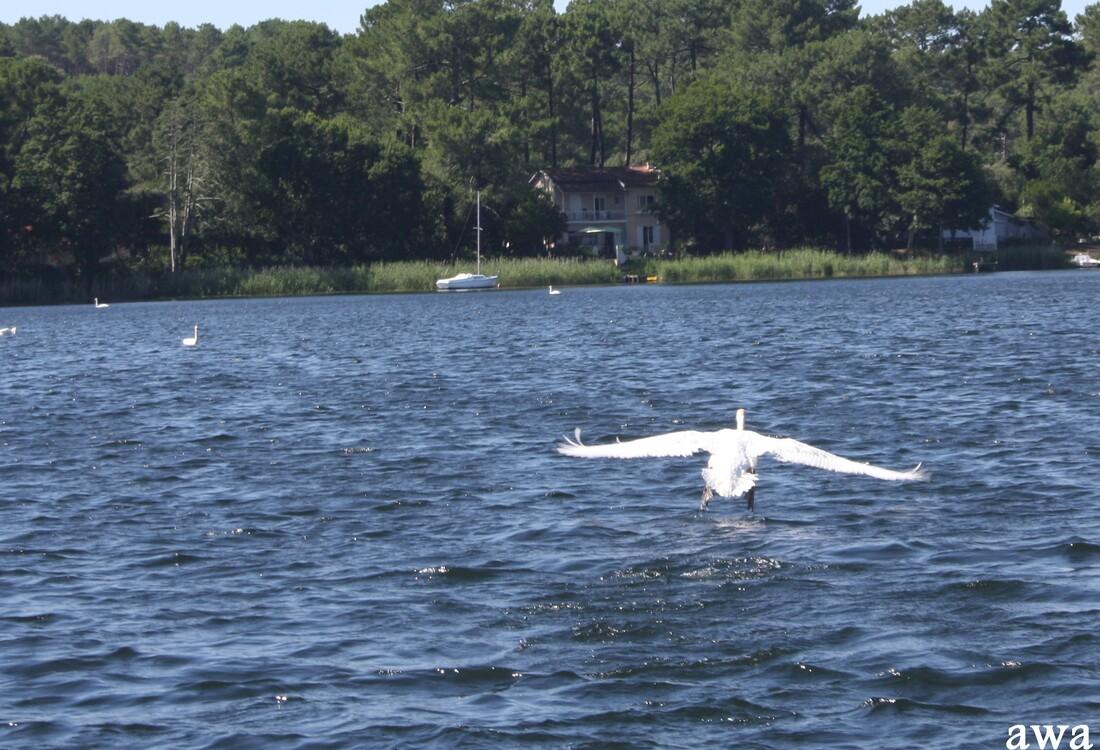 Le bal des cygnes sur le lac de LACANAU cet été