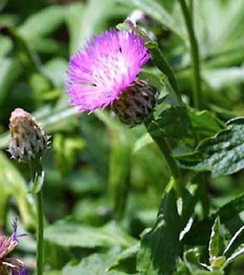 Fleurs cultivées : Centaurée