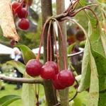 La Feuillerie, suite de la visite...pépinière mela rosa - malus silver moon