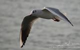 Mouette rieuse - p212
