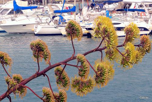 Barcarès: agaves du port ...