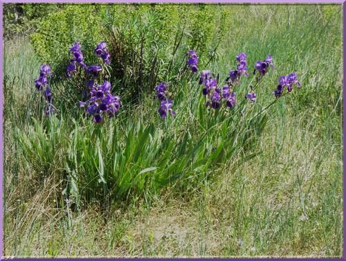 Iris bleu d'Allemagne