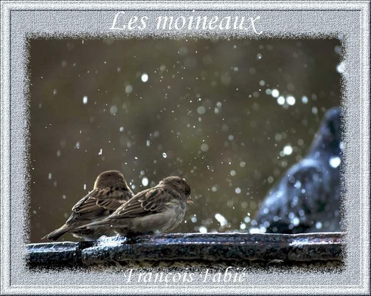 """"""" Les moineaux """" poème de François Fabié"""