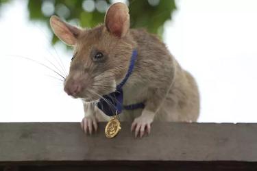 Magawa le rat retraité ...