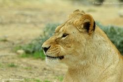 Lion - Réserve de Sigean