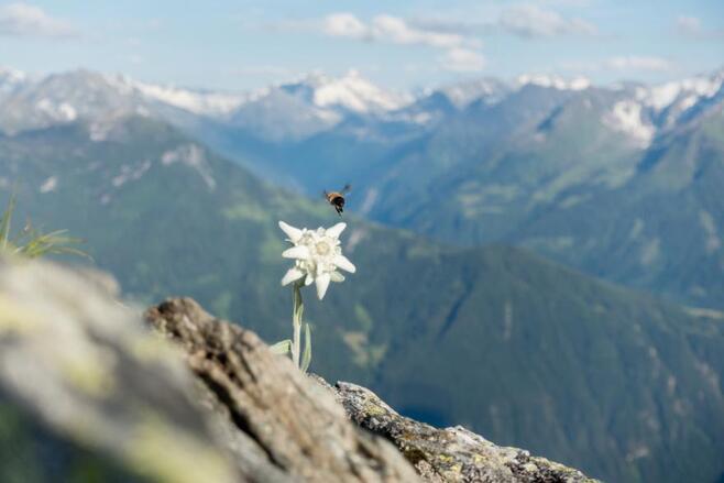 Comment planter et cultiver l'edelweiss ? - M6 Deco.fr