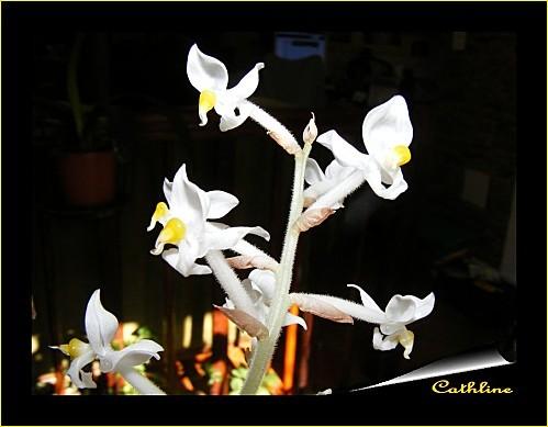 ludisia-en-fleurs.jpg