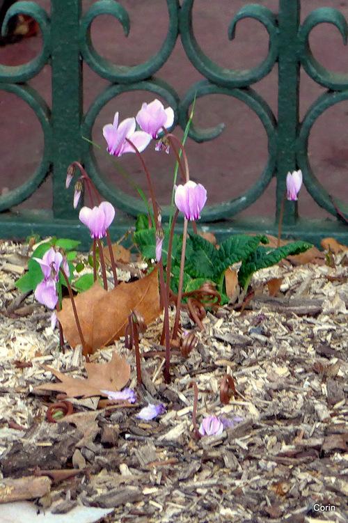Les cyclamens  : petites et jolies fleurs