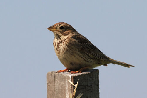 Bruant Proyer (Corn Bunting)