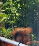 Eichhörnchen mögen Karrotten