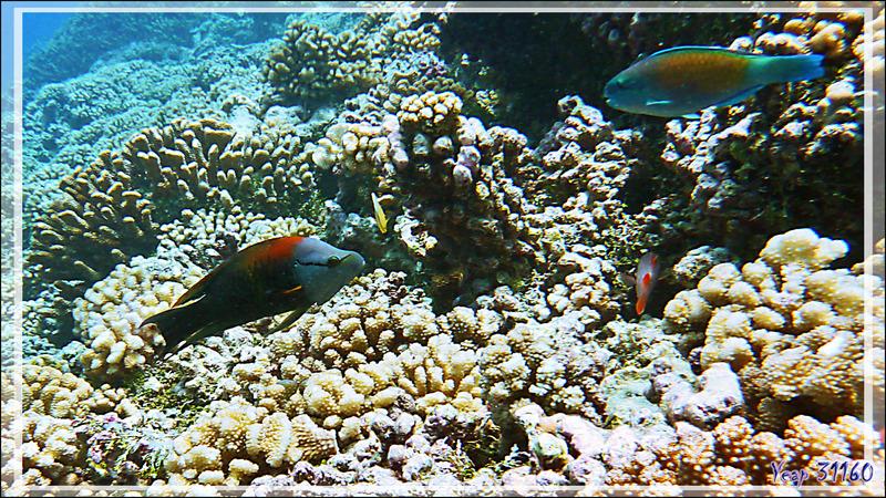 Labre à long museau, Slingjaw wrasse (Epibulus insidiator) et Perroquet brûlé, Bullethead parrotfish (Chlorurus sordidus) - Passe Tumakohua (passe sud) - Atoll de Fakarava - Tuamotu - Polynésie