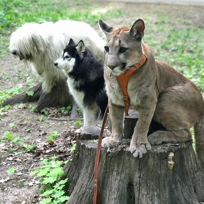 Ce puma a été sauvé d'un zoo, mais ne peut pas être relâché dans la nature, alors il vit comme un chat domestique gâté