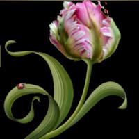 *** Douce fleur ***