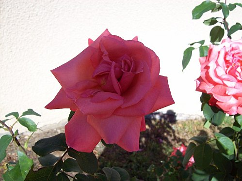 rose rose 24