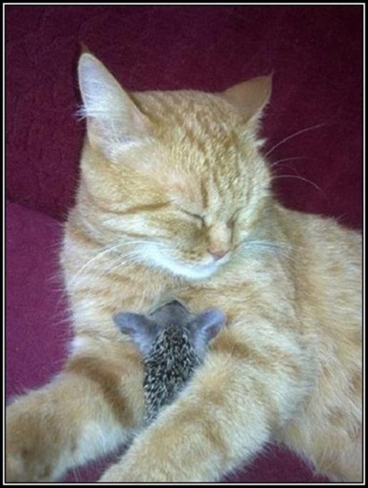 La chatte et les petits hérissons