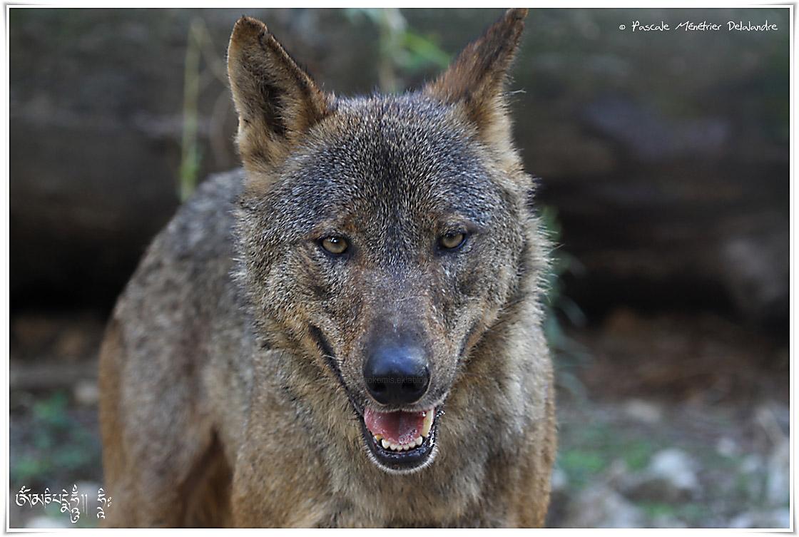 Loup Ibérique (Cabrera 1907) - Canis lupus signatus