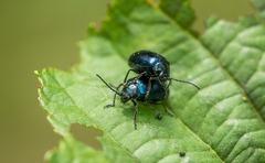"""les coléoptères qualifiés de """"nuisibles"""""""