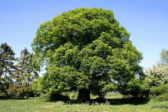 tilleul-arbre