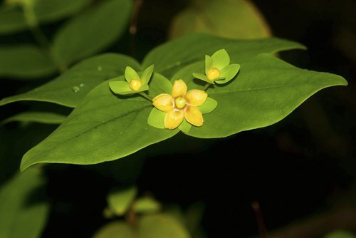 Fleurs-hipériques-500x334