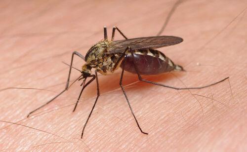 mosquitos grecs