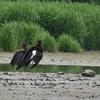 Cigognes noires (Villefermoy 19 mai 2016 © Jaime Crespo)