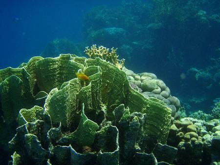 Sur les îles, le revêtement des sols rendces derniersimperméables, ce qui accentue le lessivage des sédiments. Ils s'accumulent en mer et étouffent les coraux (ici Millepora platyphylla). Revoir les politiques d'aménagement est l'une des pistes pour améliorer la conservation des coraux. © Pannini, Wikimedia Commons, CCby-sa 3.0