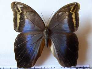 Eryphanis polyxena polyxena