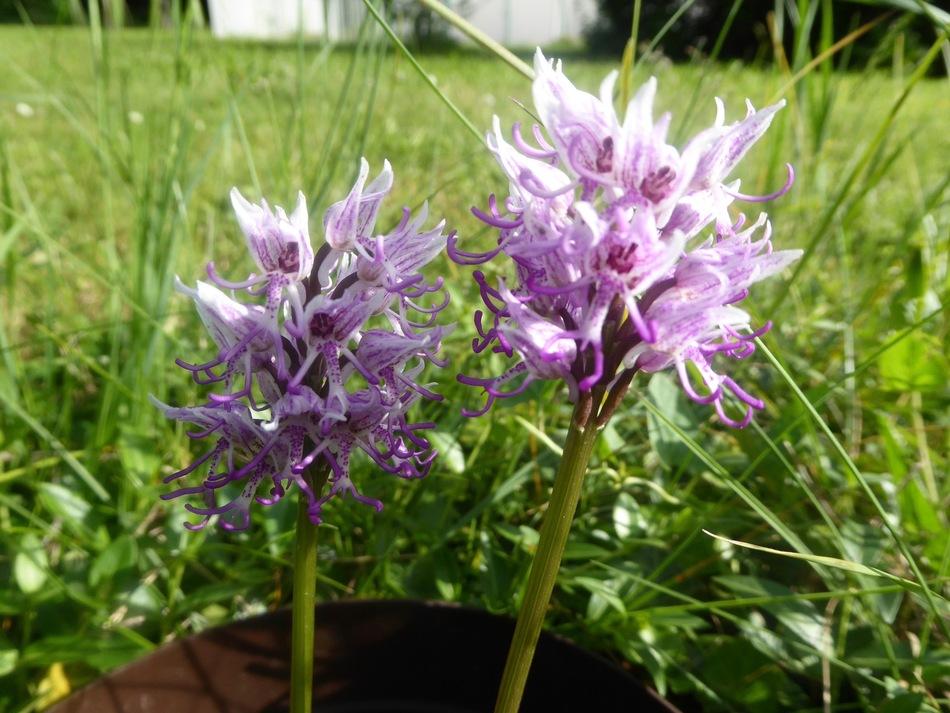 La pentecôte et les orchidées!