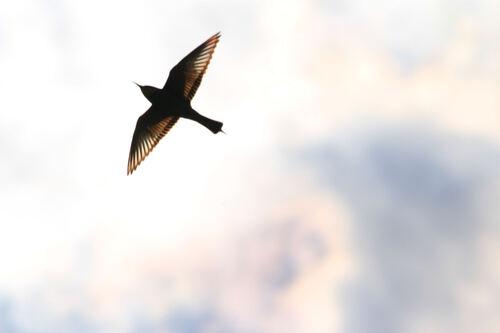 Guêpier d'Europe (European bee-eater)