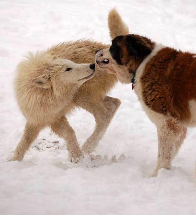 Races de chiens:  Saint-Bernard