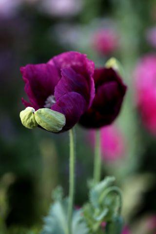 Papaver somniferum 'Dark Plum' Vs Papaver somniferum 'Lauren's Grape'