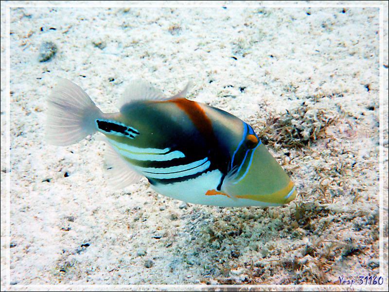Baliste Picasso clair, Blackbar triggerfish (Rhinecanthus aculeatus) - Lagon de la Pension Kuriri - Maupiti - Polynésie française