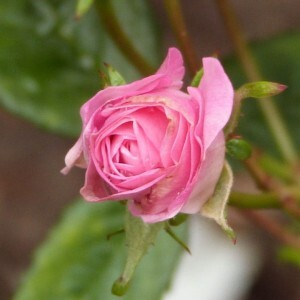 rosier-eileen-low---bouton-de-rose---mai-2014.jpg