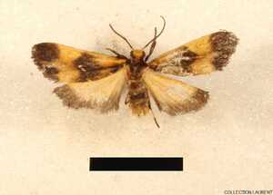 Lycomorphodes