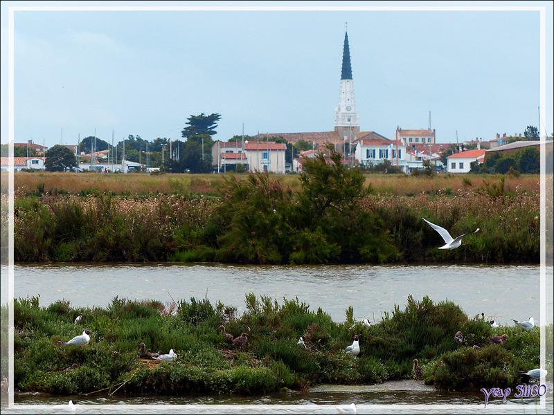 Zone de nidification d'une colonie de Mouettes rieuses - Ars-en-Ré - Île de Ré - 17