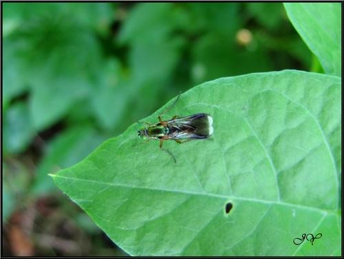Poecilobothrus nobilitatus.