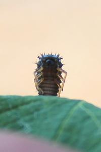 Coccinelle à 7 points ou Coccinella Septempunctata - Larve au 2ème stade