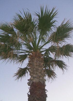 Palmier ou Arecaceae