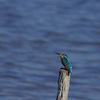 Martin-pêcheur d'Europe (Le Teich 20 octobre 2015 © Jaime Crespo)