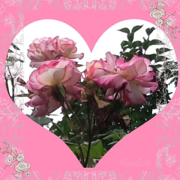 Coeur de roses !