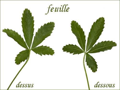 Vertus médicinales des plantes sauvages : Quintefeuille ou Potentille