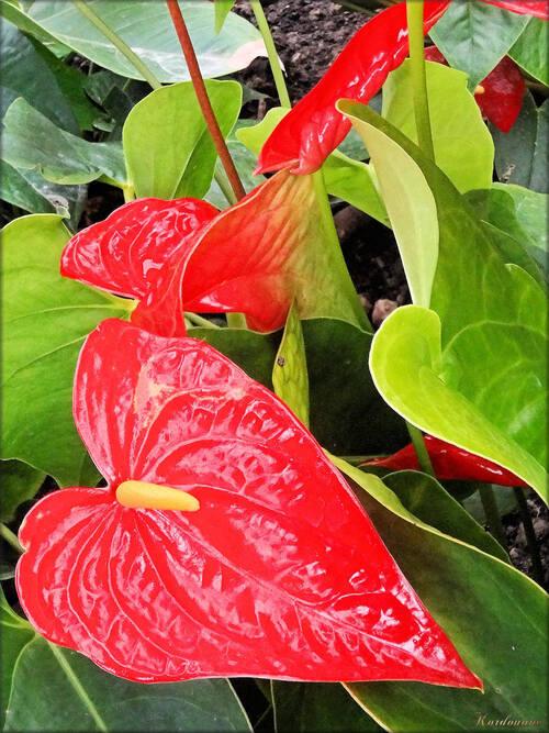 Photo d'Anthurium (Ile aux papillons-Noirmoutier)