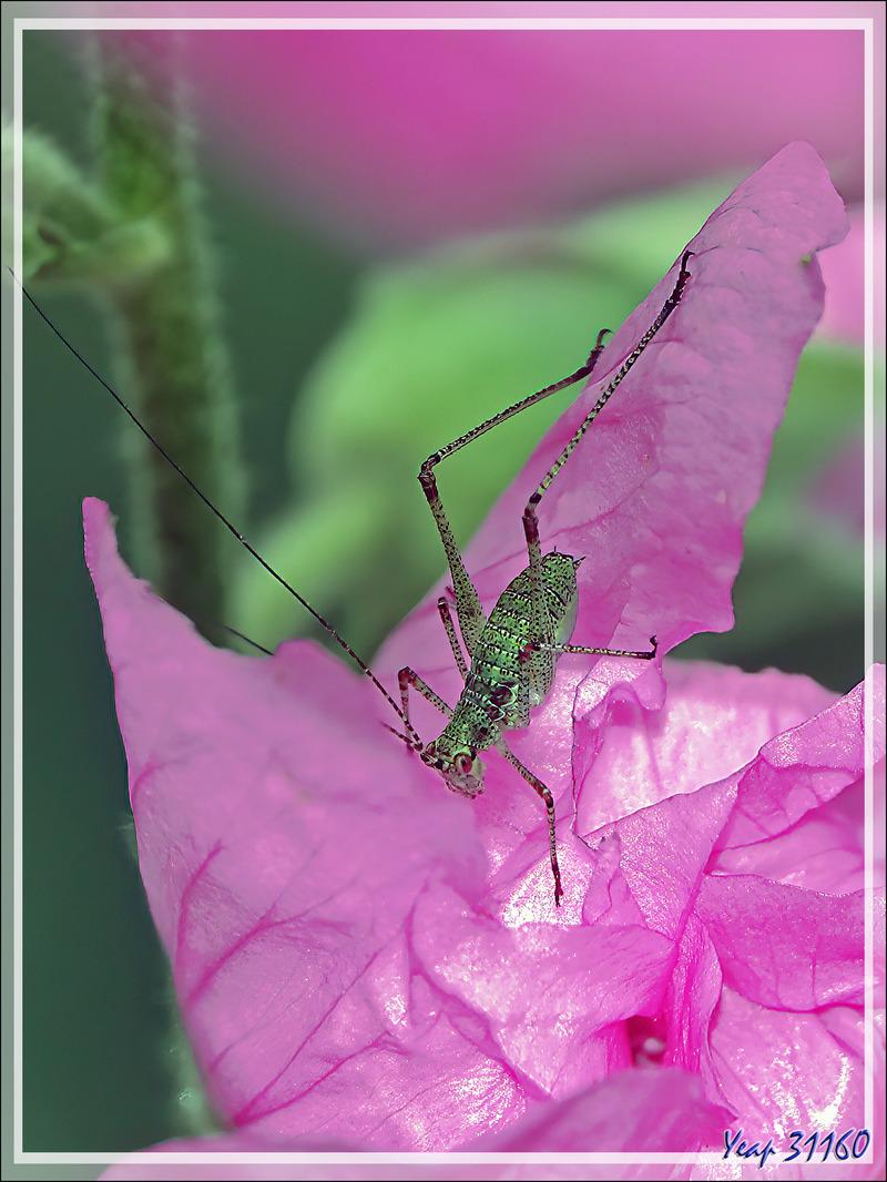 Leptophye ou sauterelle ponctuée, Speckled bush-cricket (Leptophyes punctatissima) - Lartigau - Milhas - 31