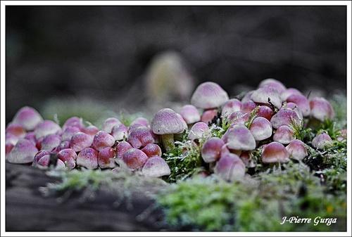 De très beaux champignons vus par Jean-Pierre Gurga, durant l'automne 2012..