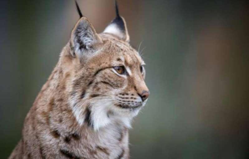 Etats-Unis : Elle recueille un chaton abandonné qui s'avère être un lynx