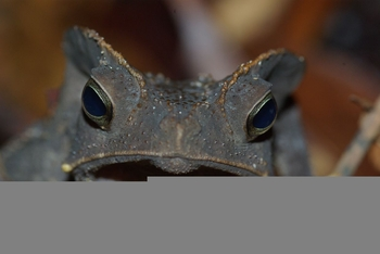 Bufo margaritifer (1)