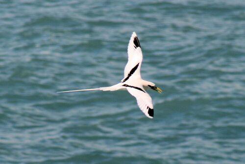 Phaéton à bec jaune (White-tailed Tropicbird)